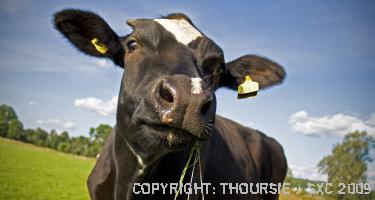 Black Cow Farts